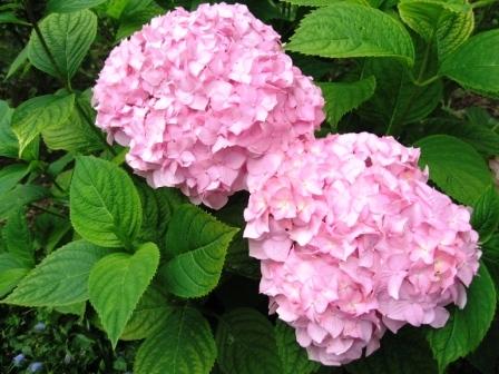 любимая розовая  гортензия