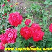 распустились пышные розы