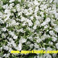Июнь, сплошным ковром цветут шиловидные флоксы