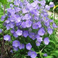 карпатский колокольчик цветет все лето , но так обильно только в июле!