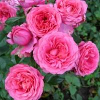 Зацвели красавицы розы