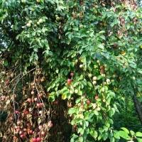 а на яблоне столько яблок, что ветки не выдерживают и ломаются