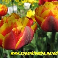 тюльпаны, короли весеннего сада