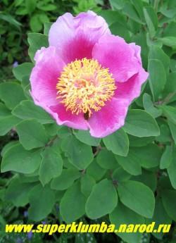 Пион КАВАХСКИЙ (Paeonia cavachensis) Видовой пион , темно-розовые лепестки с посветлением по   краям и большой золотисто-желтый центр, диаметр цветка 12см , красивая серо-голубая листва, высота   куста 60 см. ЦЕНА 900-1300 руб  (деленка 3-5 почек)