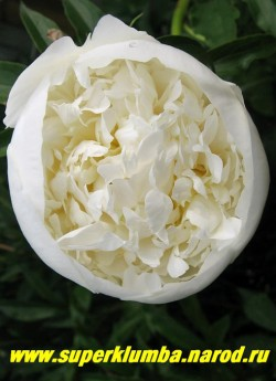 пион молочноцветковый ДЮШЕС ДЕ НЕМУР (Paeonia lactiflora Duchesse de Nemours) на фото начало   роспуска. Один из самых ароматных пионов. ЦЕНА 500-900 руб (деленка 3-5 почек) НЕТ НА ВЕСНУ