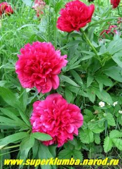 пион лекарственный РУБРА ПЛЕНА на кусту. Цветы настолько крупные и тяжелые, что этому сорту   желательна опора. ЦЕНА 300-600 руб. (деленка 1-3 почки)
