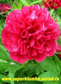 пион лекарственный РУБРА ПЛЕНА (Paeonia Officinalis Rubra Plena) Р,  60/15. Махровая садовая   вариация пиона лекарственного. Густо-махровый полушаровидный блестящего вишнево-красного цвета.   Самый популярный ранний срезочный неприхотливый сорт. ЦЕНА 300-600 руб. (стандартная деленка  для этой разновидности: 1-3 почки)