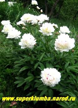цветущий куст пиона ФЕСТИВА МАКСИМА (Paeonia lactiflora Festiva Maxima)  ЦЕНА 500-900 руб (деленка 3-5 почек)