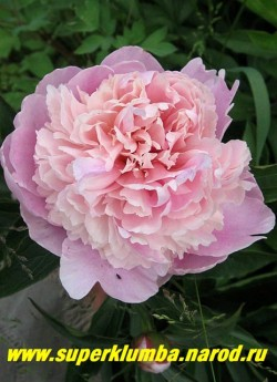 пион молочноцветковый КРЕМОВО-РОЗОВЫЙ (сорт уточняется) Махровый с розовосиреневой юбочкой и кремовым центром , диаметр 15-16 см, среднего срока цветения, ароматный, высота до 80 см . НОВИНКА! ЦЕНА 450-800 руб (деленка 3-5 почек)