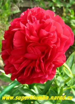 пион гибридный КЭРОЛ (Paeonia hybrida Carol) На фото цветок в начале роспуска. Изумительный сорт   для украшения сада и в букете. Чемпион многих выставок, один из лучших красных сортов. НЕТ В ПРОДАЖЕ