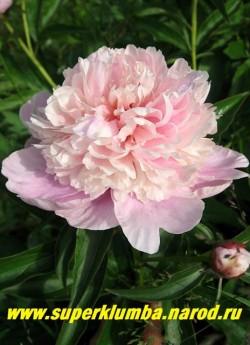 пион молочноцветковый КРЕМОВО-РОЗОВЫЙ (сорт уточняется) Цветок в полном роспуске. Сорт сильный, устойчивый к заболеваниям, хорошо нарастает.НОВИНКА! ЦЕНА 450-800 руб (деленка 3-5 почек)
