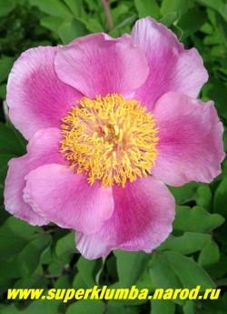 Пион КАВАХСКИЙ (Paeonia cavachensis) Цветок крупным планом. ЦЕНА 900-1300 руб  (деленка 3-5 почек)