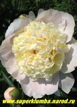 пион молочноцветковый ЛАУРА ДЕССЕР (Paeonia lactiflora Laura Dessert) Dessert, 1913 г, РС, 85/14. Махровый розовидный. В начале роспуска кремовый с лимонно-желтым центром. Позднее становится жемчужно- белым.  Очень ароматный. ЦЕНА 450-800 руб (деленка 3-5 почек)