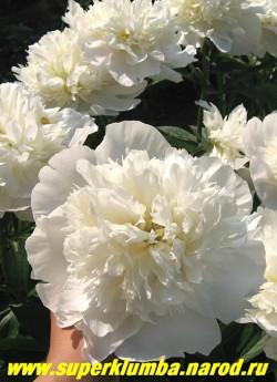 """пион молочноцветковый ЛАУРА ДЕССЕР (Paeonia lactiflora Laura Dessert"""") в полном роспуске   становится жемчужно белым. Срезочный.   ЦЕНА 450-800 руб (деленка 3-5 почек)"""