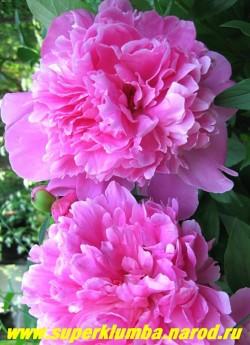 пион молочноцветковый АЛЕКСАНДР ФЛЕМИНГ (Paeonia lactiflora  Dr Alexander Fleming)  Махровый. Диаметр цветка 16 см.  Классической формы, малиново-розовый, блестящий с более светлым краем. Высота куста 80 см., среднепозднего срока цветения. ЦЕНА 350-700 руб. (деленка 3-5 почек)