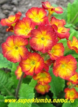 """Примула гибридная """"КРАСНАЯ №4"""" красно-оранжевые цветы с большим расплывающимся золотисто-желтым центром, высота до 20 см, цветет в мае, ЦЕНА 150 руб (делёнка)"""