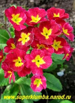 """Примула гибридная """"КРАСНО-МАЛИНОВАЯ"""" крупноцветковая примула с яркими красно-малиновыми цветами и контрастным ярко-желтым центром, высота до 20 см , цветет в мае-июне.  ЦЕНА 180 руб (делёнка)"""
