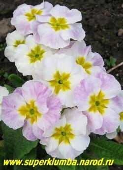 Примула гибридная «ХАМЕЛЕОН №4″ на фото в начале распуска, меняет цвет с белого на сиреневый, крупноцветковая, высота до 20 см, цветет апрель-май, ЦЕНА 250 руб (штука)