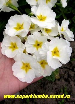 Примула гибридная «БЕЛАЯ КРУПНОЦВЕТКОВАЯ», Белая с золотой звездой в центре, диаметр цветка 5 см, высота до 25 см, цветет апрель-май, ЦЕНА 250 руб (штука)