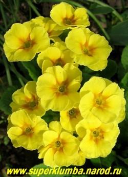 Примула гибридная «ЛИМОННО-ЖЕЛТАЯ №2″. Лимонно-желтые крупные цветы с круглыми перекрывающими друг друга лепестками, высота до 20 см, цветет апрель-май. ЦЕНА 130 руб (штука)