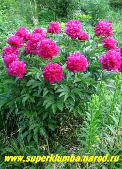 Фото цветущего куста пиона МЬЮЗИК МЭН ( Paeonia lactiflora Music man) Куст компактный, стебли прочные. Неприхотливый, разрастается хорошо. ЦЕНА 450-800 руб. (деленка 3-5 почек)