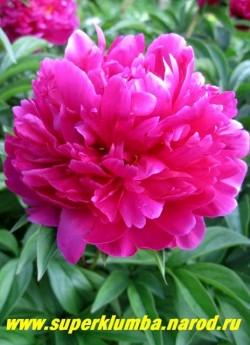 пион молочноцветковый МЬЮЗИК МЭН (Paeonia lactiflora Music man) Уайльд, 1967, США, С, 70/14.   Махровый розовидный, вишнево-малинового цвета, среднепоздний, неприхотливый, обильноцветущий. ЦЕНА 450-800 руб. (деленка 3-5 почек)
