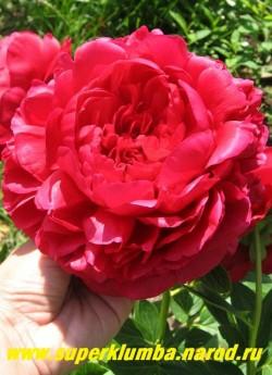 пион гибридный КЭРОЛ (Paeonia hybrida Carol) Bockstoce 1955, Р, 90/16. Махровый розовидный. Цветок   блестящий ярко-огненно-красный с легким сиреневым отливом, плотного красивого сложения. Не   выгорает, лепестки крупные, складчатые, образуют в центре несколько макушек, раскрывается медленно.  Цветёт обильно.  НЕТ В ПРОДАЖЕ