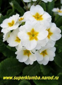 Примула гибридная «БЕЛАЯ №1». Чисто-белая с желтой звездой в центре, высота до 15 см, цветет апрель-май, ЦЕНА 100 руб (штука)