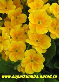 Примула гибридная «ЖЕЛТО-ОРАНЖЕВАЯ №1″. Желто-оранжевая с оранжевым центром. Очень обильная и яркая, высота до 25 см, цветет апрель-май, ЦЕНА 150 руб (штука)