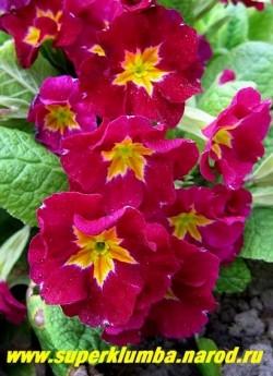 """Примула гибридная """"СВЕКОЛЬНАЯ БАРХАТНАЯ"""" крупноцветковая примула со свекольными цветами с контрастной золотой звездой в центре, высота до 12 см, цветет в мае-июне.  ЦЕНА 200 руб (делёнка)"""