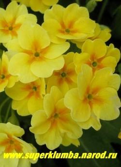 Примула гибридная «ЛИМОННО-ЖЕЛТАЯ №1″. Лимонно-желтая с оранжевой звездочкой в центре. Высота до 20 см, цветет апрель-май, ЦЕНА 150 руб (штука)