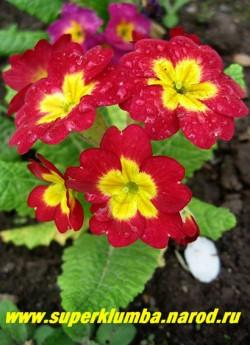 """Примула гибридная """"КРАСНАЯ КРУПНОЦВЕТКОВАЯ""""  очень крупные кумачово-красные цветы диаметром 4-5 см с золотистым центром, высота до 20 см, цветет в мае-июне, ЦЕНА 250 руб (делёнка)  НЕТ НА ВЕСНУ"""