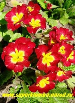 """Примула гибридная """"КРАСНАЯ №1"""" ярко-красная крупноцветковая примула с ярко-желтым центром, высота до 20 см, цветет в мае-июне, ЦЕНА 200 руб (делёнка)"""