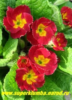 """Примула гибридная """"КРАСНО-МАЛИНОВАЯ №2"""" Красно-малиновые цветы с небольшой """"изморозью"""" по краю лепестков, высота до 20 см, цветет в мае-июне, ЦЕНА 120 руб (делёнка)"""