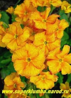 Примула гибридная «ЖЕЛТО-ОРАНЖЕВАЯ №2″, оранжево-желтые цветы с терракотово-красной штриховкой по краю, усиливающейся по мере роспуска, крупноцветковая, высота до 25 см, цветет апрель-май.  НЕТ В ПРОДАЖЕ
