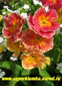 """Примула гибридная """"ХАМЕЛЕОН №2"""", на фото в полном роспуске, меняет цвет с лимонно-желтого на ярко-малиновый, крупноцветковая, высота до 15 см, цветет май-июнь. ЦЕНА 300 руб (штука)  НЕТ НА ВЕСНУ"""