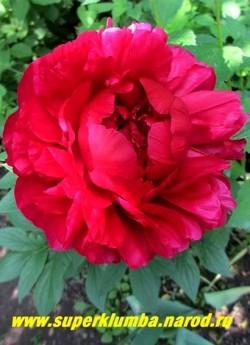 Пион гибридный ГЕНРИ БОКСТОС (Paeonia hybrida Henry Bockstoce) Bockstoce 1955, Р, 90/20. Махровый,   розовидный. Кроваво-красный, блестящий, плотнонабитый. Наружные лепестки очень широкие загнуты   внутрь. НОВИНКА! НЕТ В ПРОДАЖЕ.