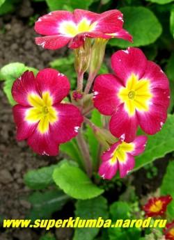 """Примула гибридная """"МАЛИНОВАЯ №2"""" Высокая крупноцветковая ( диаметр цветка 5-6 см) примула с ярко-малиновыми цветами с крупным золотым центром, высота до 20 см, цветет в мае, ЦЕНА 230 руб (делёнка)"""