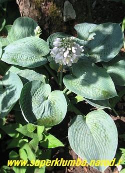 """Хоста БИГ ДЭДДИ (Hosta """"Big daddy"""") Размер L. Листья  синие большие округло-сердцевидные (28х23см.), характерной чашевидной формы , очень плотные, жатые, интенсивно голубые, цветы белые в плотных соцветиях, куст компактный. Тень-лёгкая тень. НОВИНКА! ЦЕНА 350 руб."""