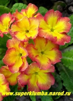 """Примула гибридная """"ЖЕЛТО-МАЛИНОВАЯ"""" крупноцветковая желтая с малиновым румянцем по краю лепестков, подушковидная высота до 10 см, цветет в мае, ЦЕНА  250 руб (делёнка)   НЕТ В ПРОДАЖЕ"""