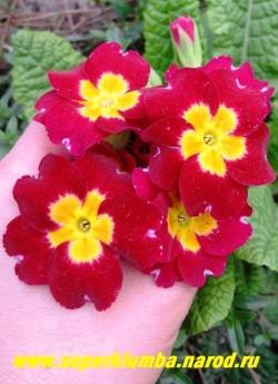 """Примула гибридная """"КРАСНЫЙ БАРХАТ""""   крупные   бархатные красные цветы с  желтым центром,  диаметр цветка 4-5 см, высота до 20 см, цветет в мае-июне. Собственная селекция.   ЦЕНА 350 руб (штука)"""