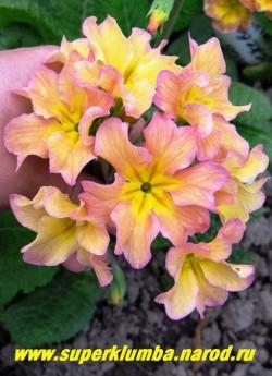 """Примула гибридная """"ХАМЕЛЕОН №1, меняет цвет с лимонного на кремовый, затем на розовый. Крупноцветковая, диаметр цветка 4,5-5 см, лепестки слегка гофрированы, цветет май-июнь. НОВИНКА ! ЦЕНА 300 руб (штука)"""