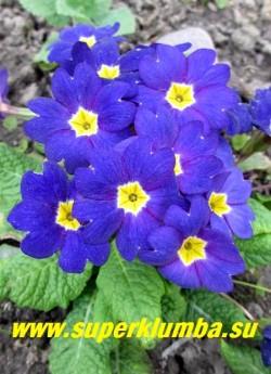 """Примула бесстебельная """"СИНЯЯ"""".   Насыщенно синий цвет крупных цветов с ярко-желтой серединкой. Высота  10-14 см, цветение апрель-май.  НОВИНКА!  ЦЕНА 250 руб (штука)"""