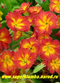 """Примула гибридная """"КРАСНАЯ №2""""  красно-оранжевая с оранжевой звездой в центре, высота до 20 см, цветет в мае, ЦЕНА 150 руб (делёнка)"""