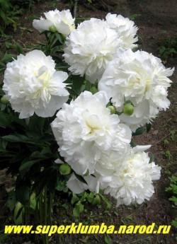 Молодой куст пиона ДЮШЕС ДЕ НЕМУР (Paeonia lactiflora Duchesse de Nemours) Куст раскидистый,   многостебельный, высотой до 100 см. Листья темно-зеленые. Не повреждается болезнями. ЦЕНА 500-900 руб (деленка 3-5 почек) НЕТ НА ВЕСНУ