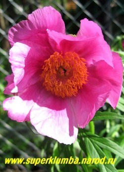 Пион УКЛОНЯЮЩИЙСЯ VAR.TYPICA или МАРЬИН КОРЕНЬ (Paeonia anomala var. typica) Самая распространенная   из многочисленных вариаций этого пиона. Сиренево-розовые цветы с широкими лепестками и золотистыми   тычинками в центре. Диаметр 12 см . Глубокорассеченная светлозеленая листва. Высота куста до 70 см,  НЕТ   В ПРОДАЖЕ.