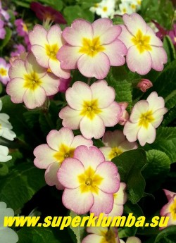 """Примула гибридная """"НЕЖНО-РОЗОВАЯ""""  белые цветы с нежно-розовым румянцем и   небольшой желтой звездочкой в центре,  высота  до 15 см ,цветет в мае. НОВИНКА!  НЕТ В ПРОДАЖЕ ."""