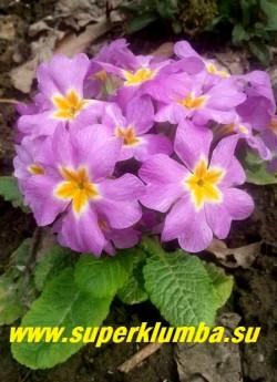 """Примула гибридная """"СИРЕНЕВАЯ"""" Крупноцветковая, диаметр цветка 3,5-4 см, цвет меняет от светлого до насыщенно-сиреневого, в центркмаленькая желтая звездочка отделенная от сиреневого белой каймой.  \Высота до 13 см, цветет в мае, ЦЕНА 150 руб (делёнка)"""