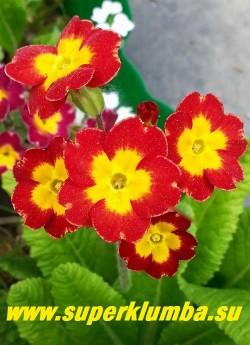 """Примула гибридная """"КРАСНАЯ №7""""  ярко-алая с  желтым центром, высота  15 см,  цветет в мае-июне, ЦЕНА 200 руб (делёнка)  НОВИНКА!"""