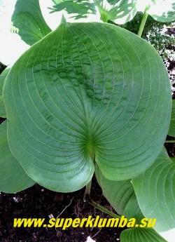 """Хоста """"НЭНСИ ДЖИЛЛ"""" (Hosta """"Nancy Gill"""")  Размер L-G.  Лист необычной формы - очень широкий в центре, резко сходится в острый  вытянутый кончик. У взрослых растений лист приобретает """"вафельность"""" и четкие вдавленные жилки.  НОВИНКА!  ЦЕНА 400 руб (1 шт)"""